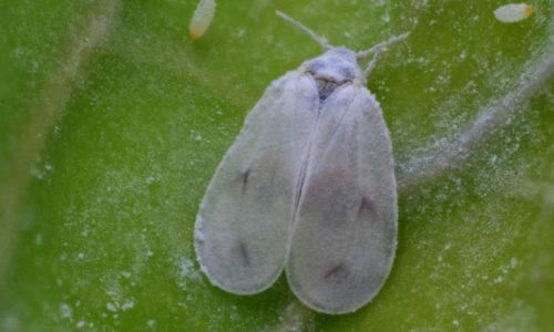 Aleyrodes proletella adult