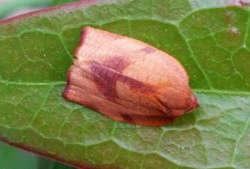 Carnation tortrix female