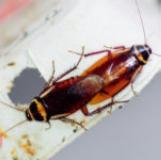 Australische kakkerlak-Periplaneta australasiae
