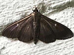 Box tree moth dark morph