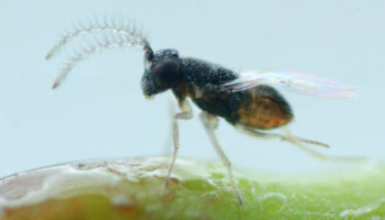 CITRIX-Ap Anagyrus pseudococci mannetje