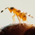 COCCIN - Microterys nietneri bestrijder dopluis