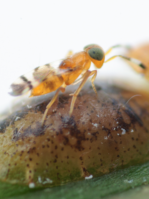 COCCIN - Microterys nietneri - female bestrijder van platte dopluis