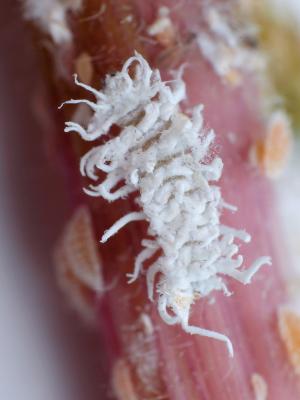 CRYPTOS - Cryptolaemus montrouzieri larva