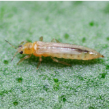 Californische trips - Frankliniella occidentalis