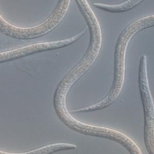 ENTONEM - Steinernema feltiae, Nematodes against fungus gnats