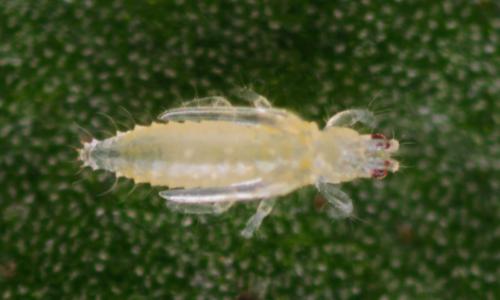 Echinothrips americanus pupa