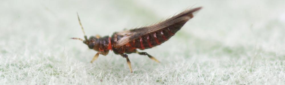 Adult Echinothrips