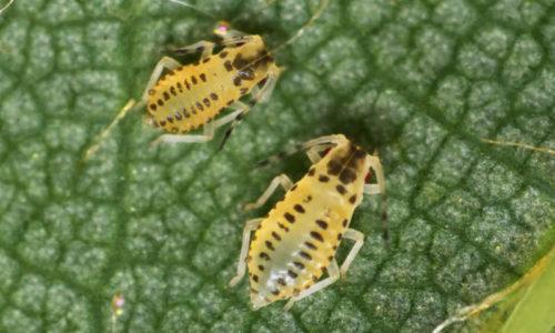 Eucallipterus tiliae nymphs