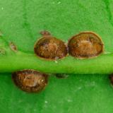 Dopluis: Halvebol dopluis - Saissetia coffeae