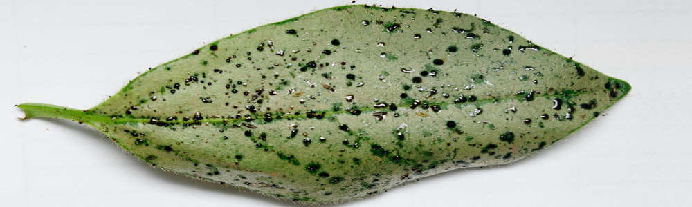 greenhouse thrips Heliothrips haemorrhoidalis feeding damage