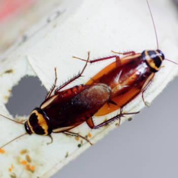 Kakkerlakken Periplaneta australasiae