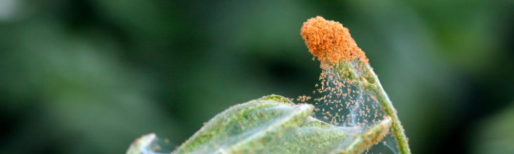 Two-spotted spider mite Tetranychus urticae - damage