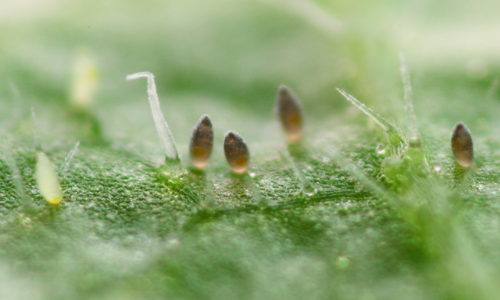 Kaswittevlieg eieren -Trialeurodes vaporariorum eggs