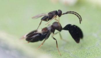 LONGIX-Ca Cryptanusia aureiscutellum mannetje en vrouwtje