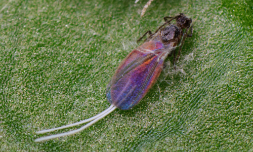 Langstaartwolluis - Pseudococcus longispinus - male