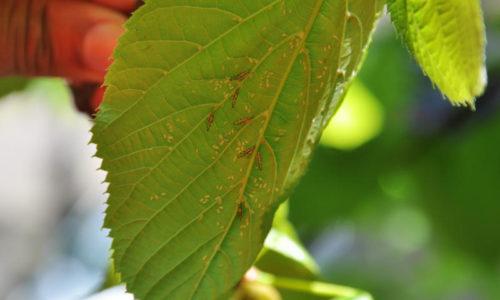 Lindebladluis op blad