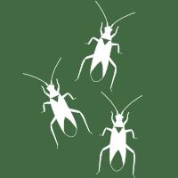 Macrolophus true bug icon