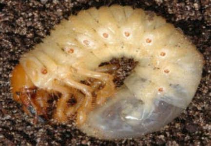 Meikever larve