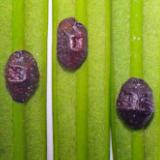 Dopluis: Oleanderdopluis - Saissetia oleae