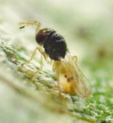 PARATRIP Thripobius Thripoctenus javae biological control greenhouse thrips