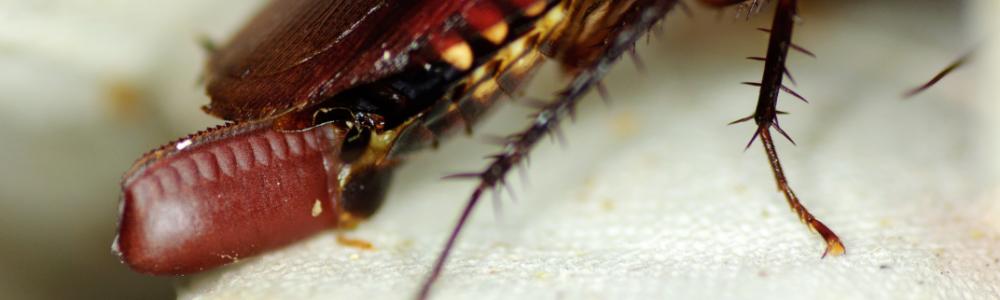 Australian cockroach Periplaneta australasiae oothecae eggs