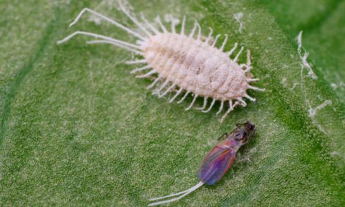 Pseudococcus longispinus mannetje en vrouwtje