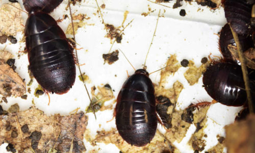 Surinam cockroach Pycnoscelus surinamensis