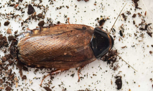 Surinam cockroach Pycnoscelus surinamensis adult