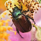 Rozenkever - Phyllopertha horticola