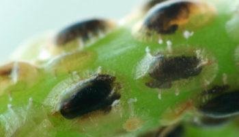 SAISIN-C Coccophagus scutellaris poppen
