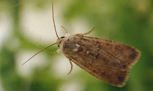 Floridamot Spodoptera exigua