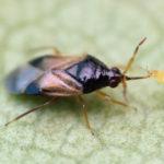 THRIPOR - Orius insidiosus