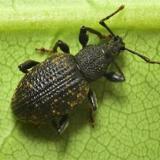 Taxuskever - Otiorhynchus sulcatus