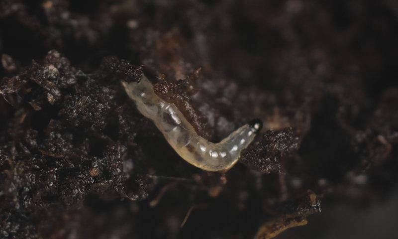Varenrouwmug larve