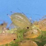 Groene perzikluis